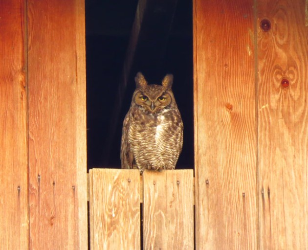 Great Horned Owl in barn window.