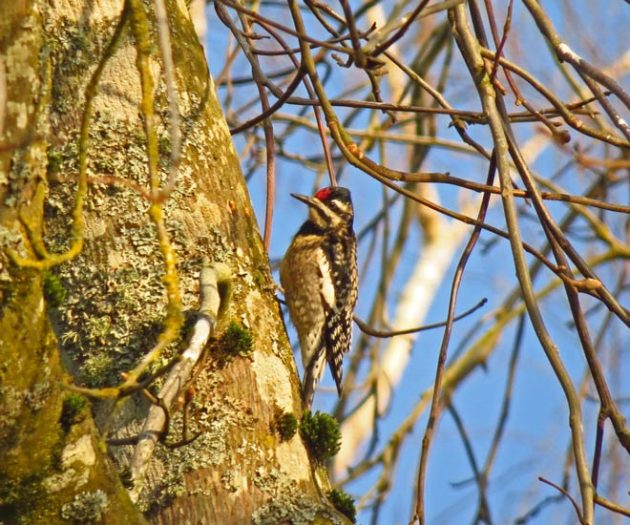Yellow-bellied Sapsucker in Washington County.
