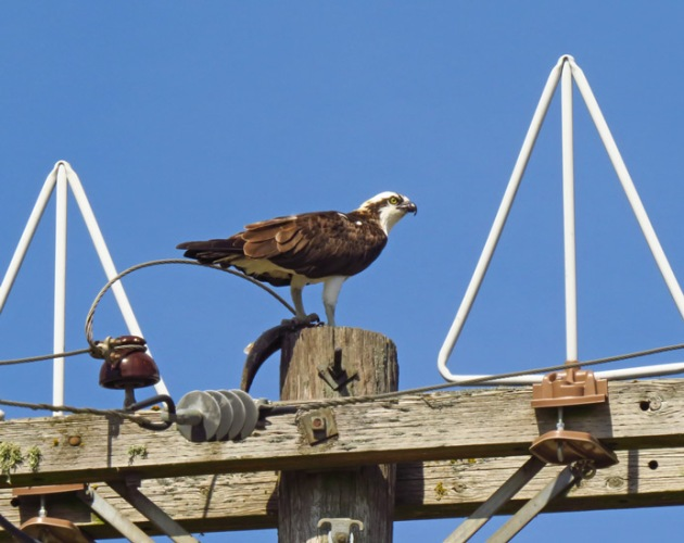 Osprey with fish in Yamhill County.
