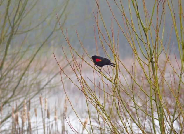 Red-winged Blackbirds are busy singing at all the local wetlands again.