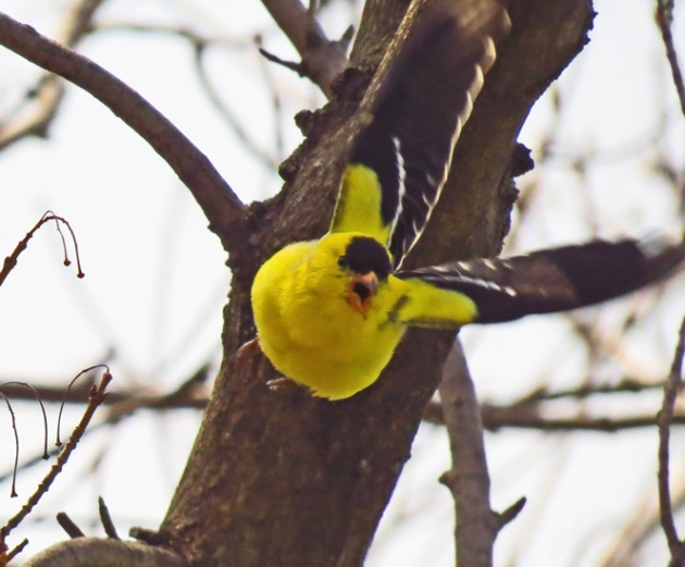 American Goldfinch - my favorite photo.