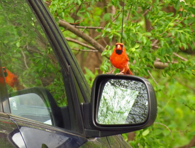 Male Northern Cardinal defending his territory by attacking his reflection on my car!