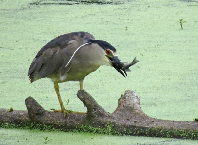 Black-crowned Night-Heron with fish.