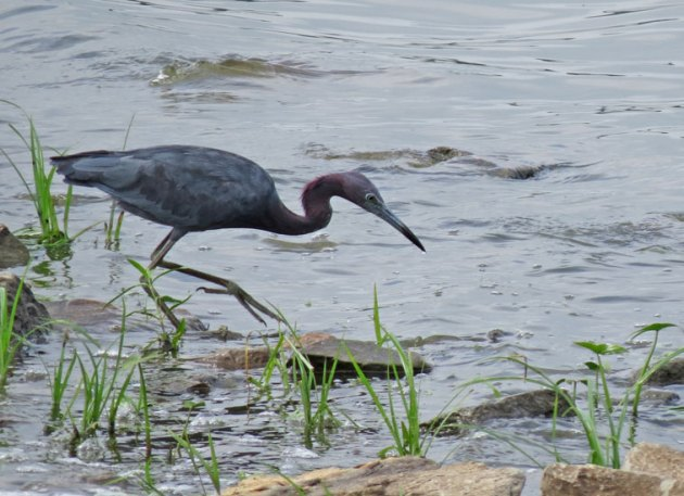 Little Blue Heron at Horseshoe Lake, IL.