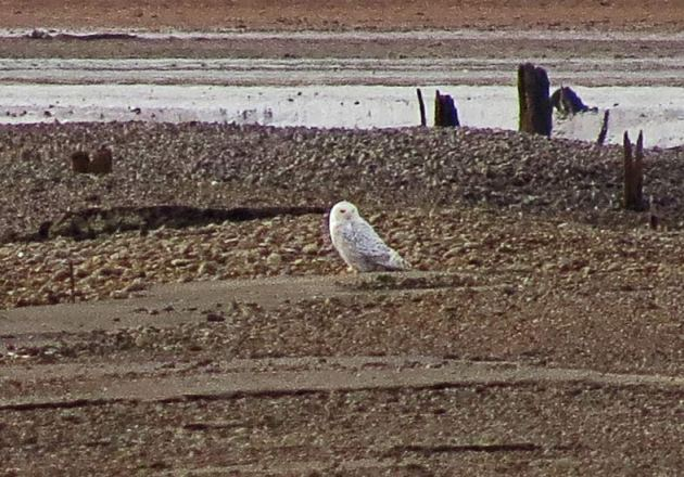 Snowy Owl at Fern Ridge in Eugene.