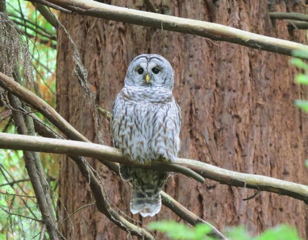 "Barred Owl x Spotted Owl hybrid - ""Sparred Owl"" - in west Portland hills."