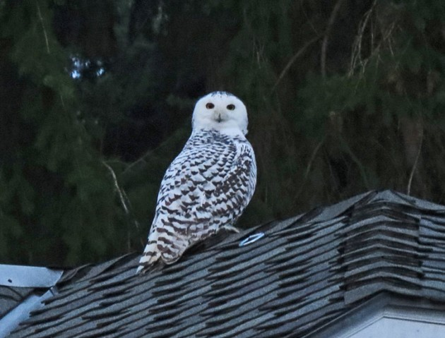 Snowy Owl at dusk in SW Portland.