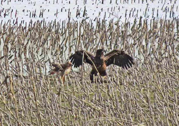 Bald Eagle steals food from two Red-tailed Hawks.
