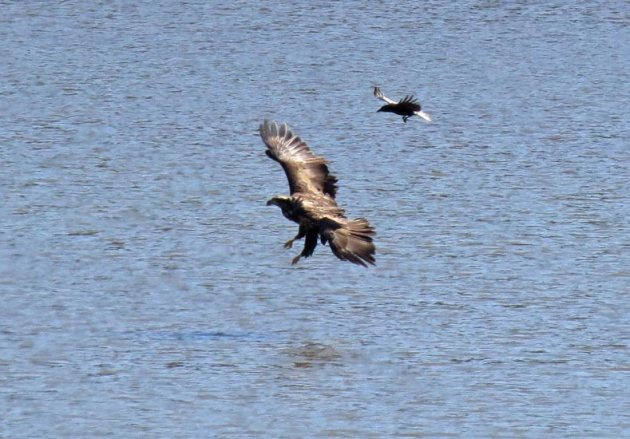 Immature Bald Eagle taken down by this gutsy American Crow!
