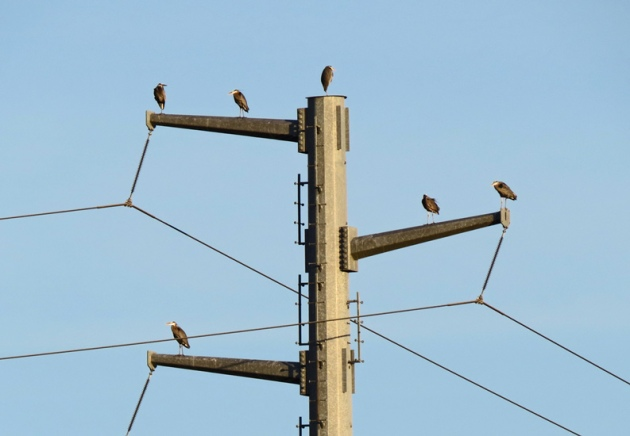 Great Blue Herons gather on the power pole on Ross Island in January near the rookery.