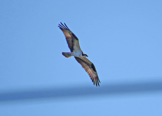 So happy to see this Osprey at Oaks Bottom on March 16th!