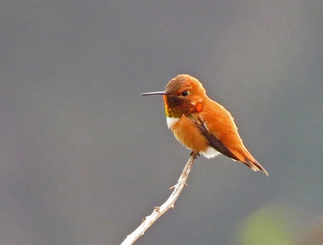 Rufous Hummingbird securing his summer territory with dive displays.