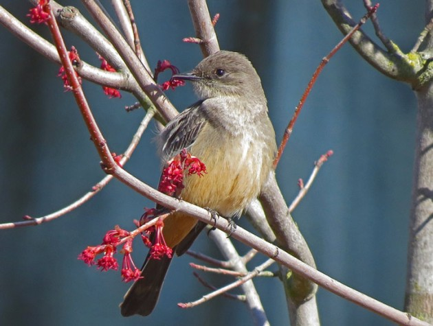 Say's Phoebe was very approachable in NE Portland.