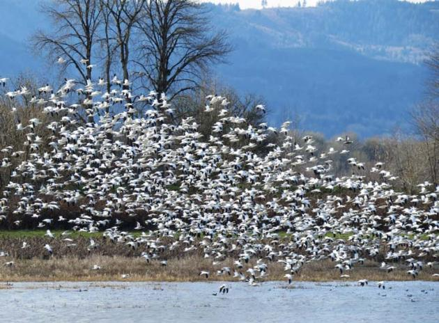 "Snow Geese take flight with a ""Blue Goose"" front and center on Sauvie Island!"