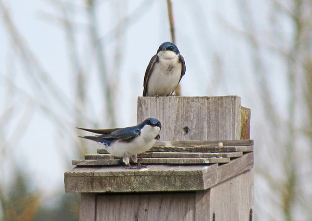 Tree Swallows find a welcome home at Fernhill Wetlands!