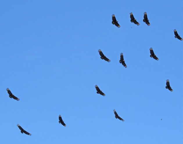 Part of a large circling kettle of Black Vultures.