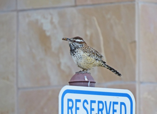 A nesting Cactus Wren greeted us at the hotel.