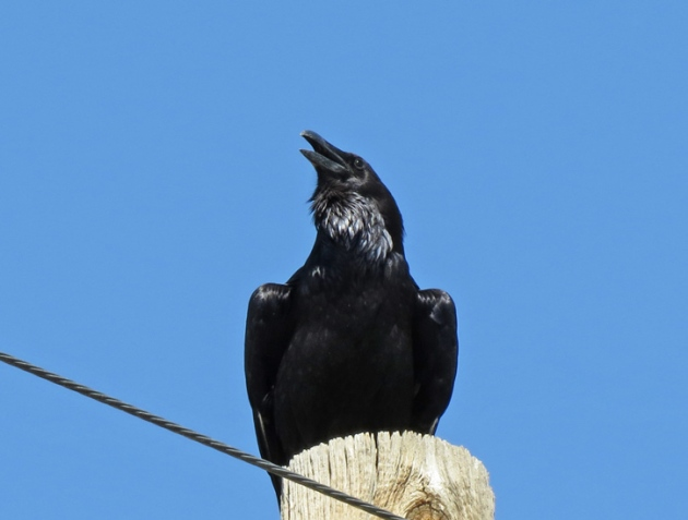 Common Raven by the roadside.