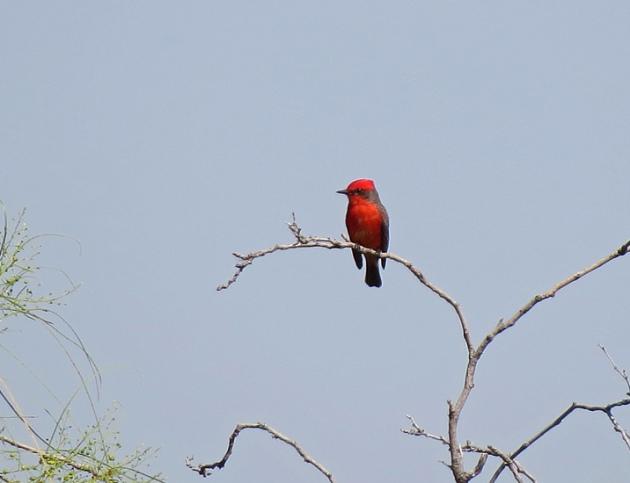 Male Vermilion Flycatcher at Agua Caliente Park in Tucson.
